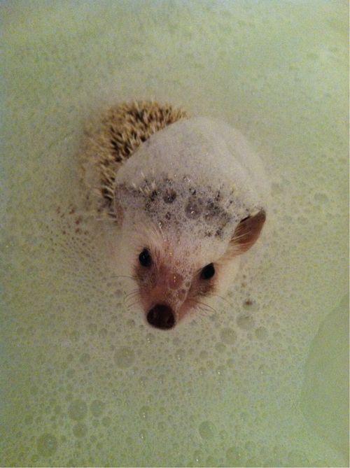 Wally bath time! | Adorable Hedgehogs - 45.5KB