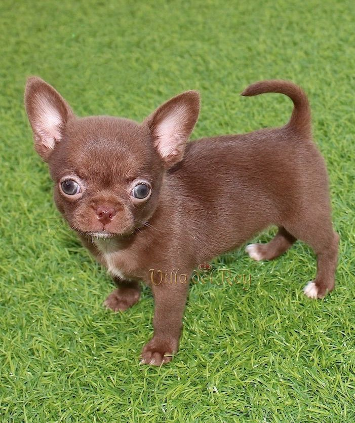 Female Chihuahua Puppy Chocolate Color 9 Weeks Old Cute Fluffy