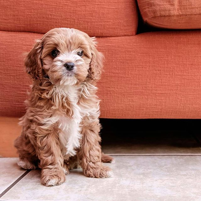 Pin for Later: 25 Adorable Dog Hybrids You Had No Idea Existed Cavapoo: Cavalier King Charles Spaniel + Poodle