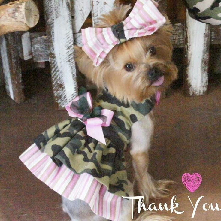 teacup yorkie clothes the 25 best yorkie clothes ideas on pinterest youtube 4989