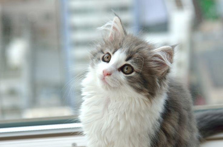 Норвежская лесная кошка (фото): доброта, облаченная в нордический характер