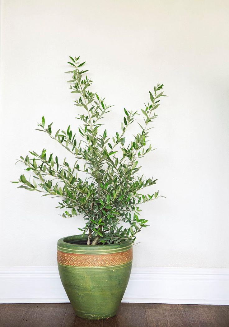 Arbequina Olive Tree Live Plant 6 Pot Delectable Fruit
