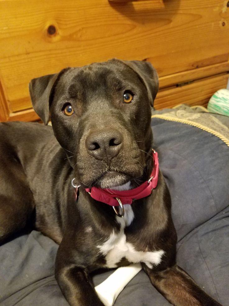 Boxador dog for Adoption in Grafton, WI. ADN794550 on