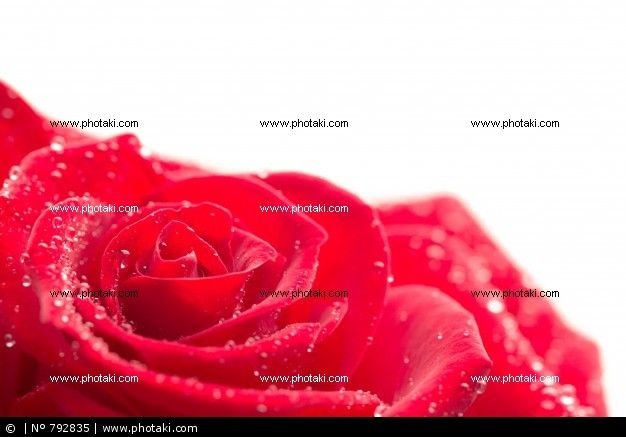 http://www.photaki.com/picture-close-up-of-pink-rose-with-dew-drops_792835.htm