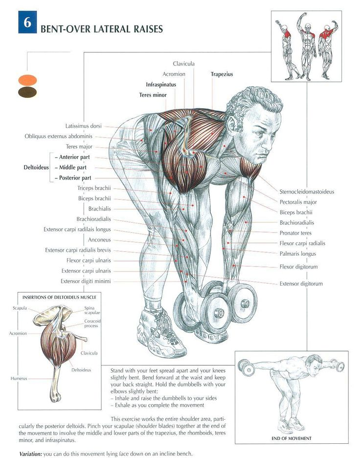 Bent-Over Lateral Raises ♦ #health #fitness #exercises #diagrams #body #muscles #gym #bodybuilding #shoulders