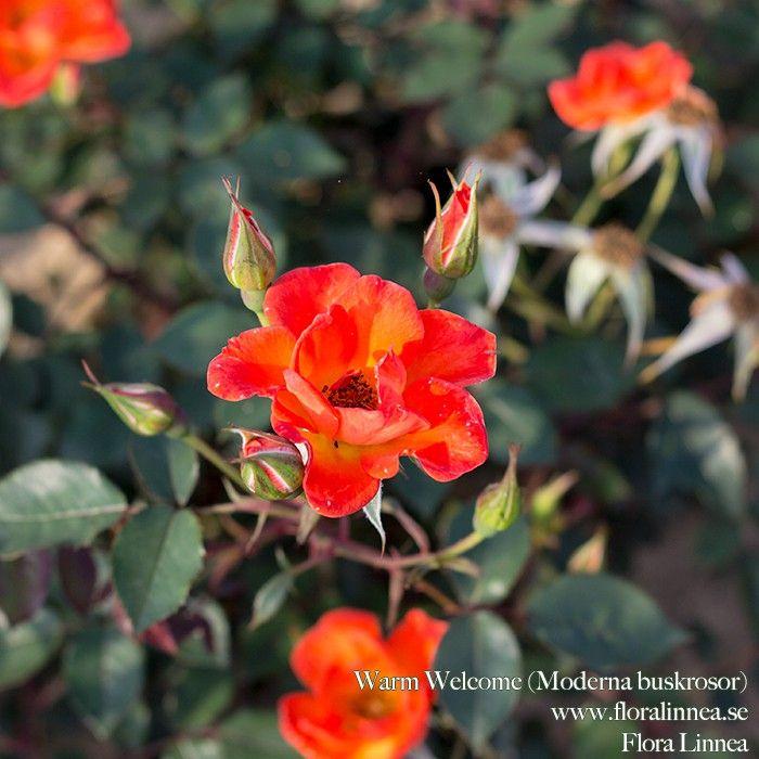 FloraLinnea Rosor Warm Welcome (Moderna-buskrosor)