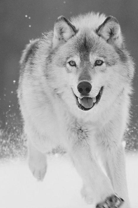 The Wonderer: Animals, Gray Wolf, Nature, Beautiful, Wildlife, Wolves, Dog, Wolf, Running