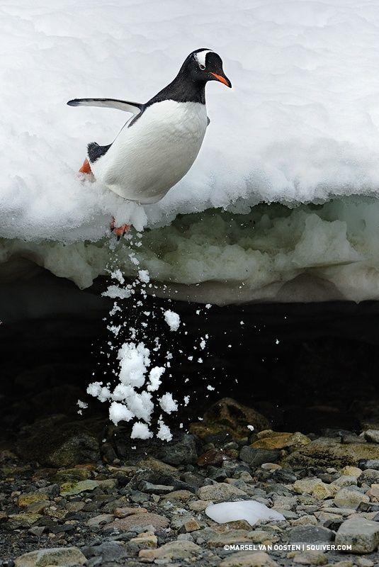 penguins....love them!