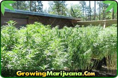 how to grow marijuana step by step outdoors