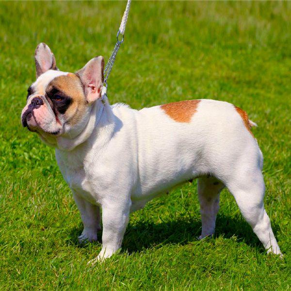 French Bulldog Dog Breeds Dog Breeds French Bulldog French