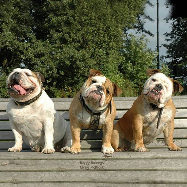 BaggyBulldogs   All about English Bulldogs
