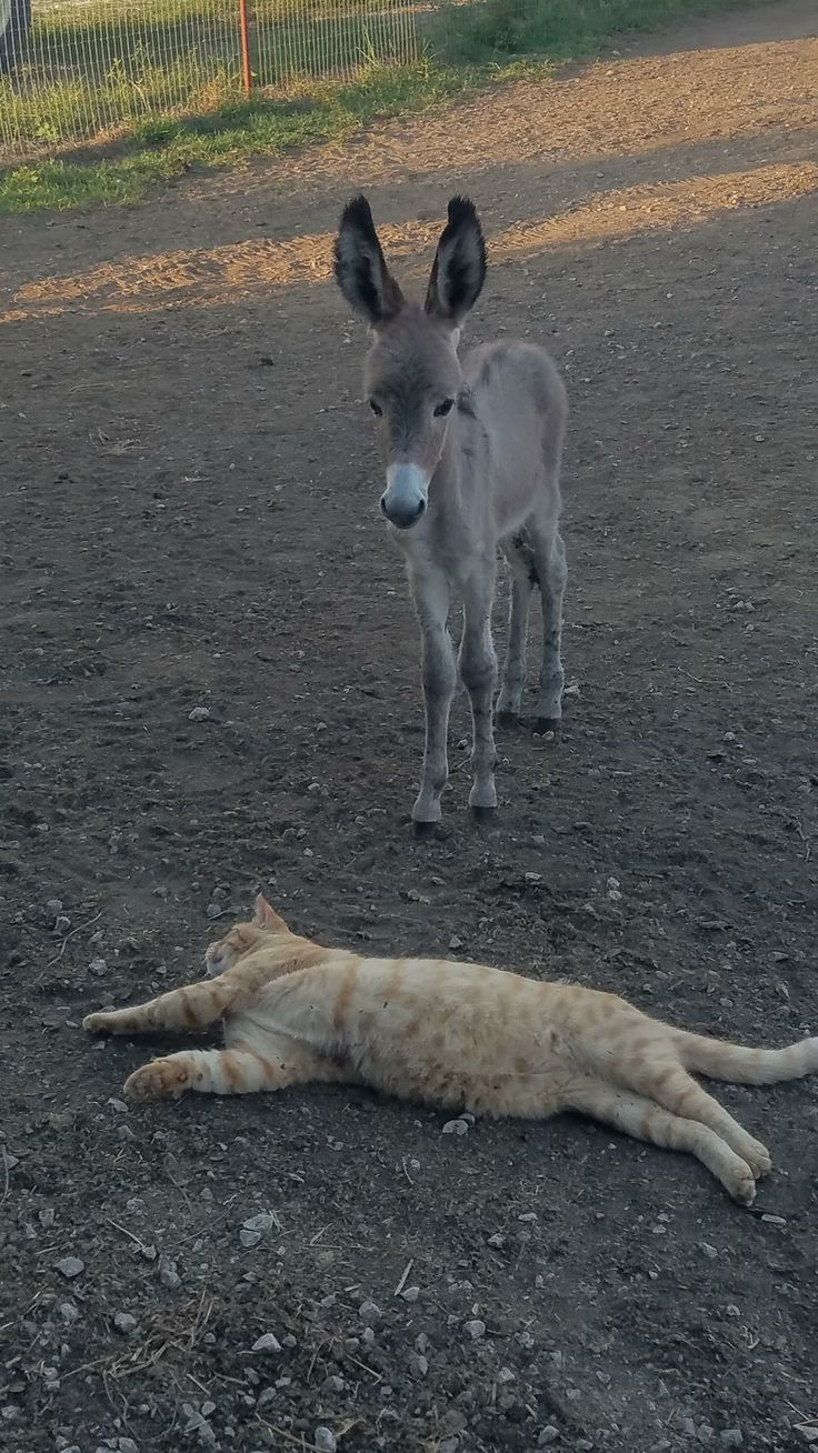 T & D Donkey Rescue ~ Ross the cat just kills me. Now you can see how tiny the new arrival is. He is standing just about 2 feet away from the cat. The cat weighs 14 lbs.