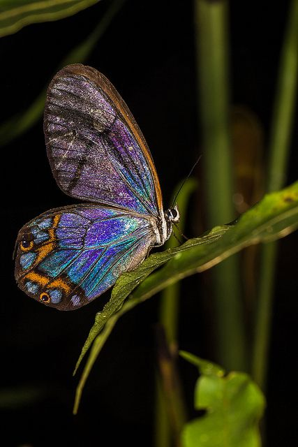 Pseudohaetera Hypaesia - Butterfly