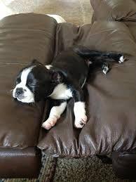 Bildergebnis für red fire boston terriers