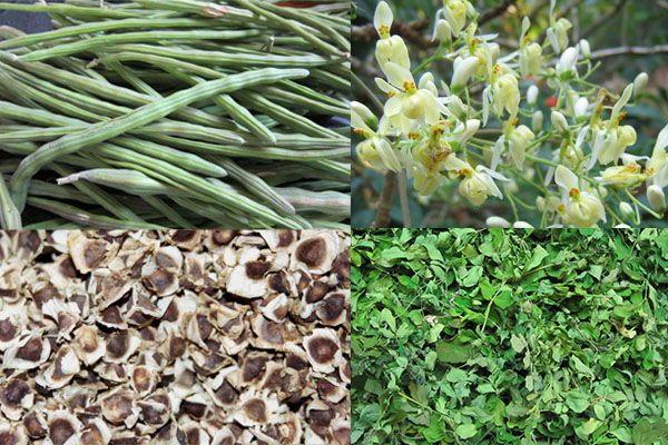 Partes de la moringa: Vainas, hojas, flores y semillas