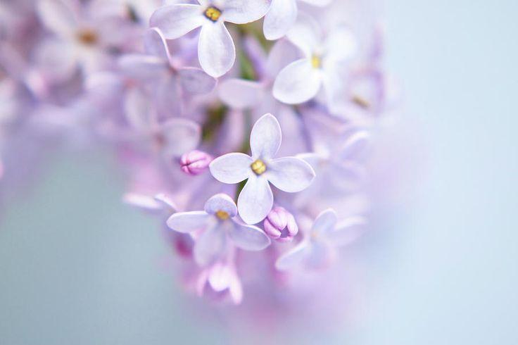 Lilac Petals Photograph by Marfffa Art