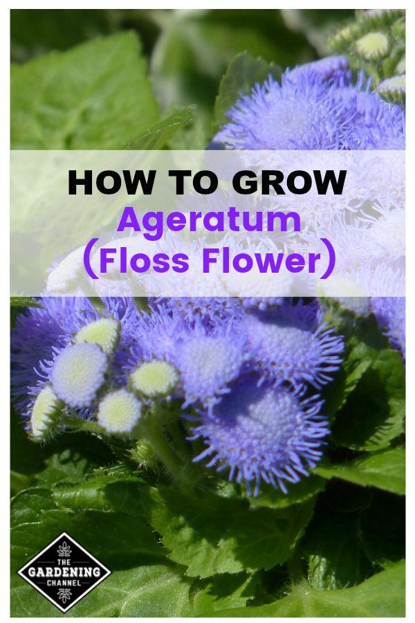 How To Grow Ageratum Floss Flower Growing Flowers Flower Landscape Gardening Zones