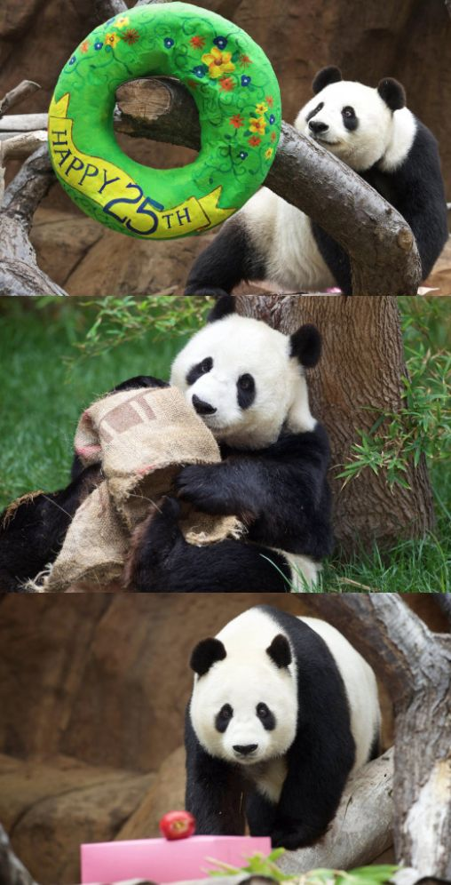 Her majesty Bai Yun just turned 25! This is an extra special birthday for our mother of 6 cubs, whose contributions were a small part of what led to the recent announcement that pandas are no longer endangered. Thanks for everything you've done for your species Bai. (photos by Mollie Rivera)