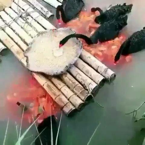 Black Swans Feeding The Fish