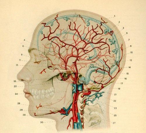 Cerebral vasculature