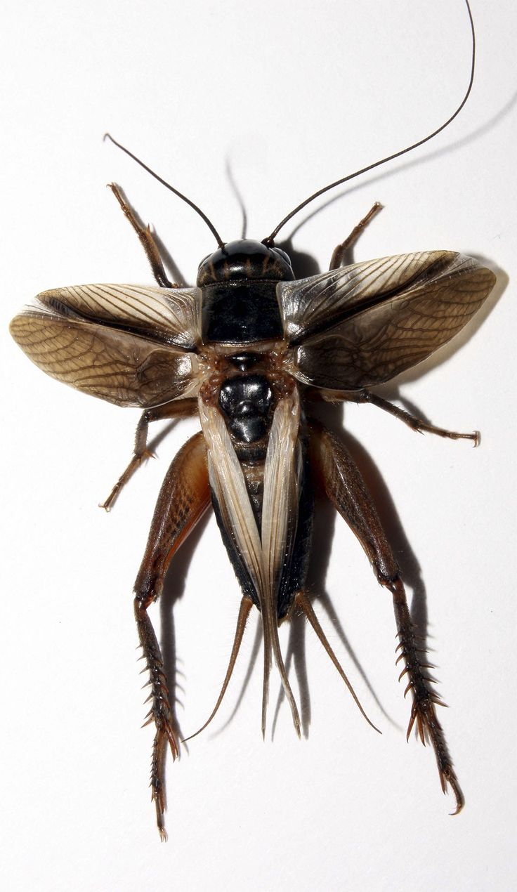 Ten years ago male crickets on the Hawaiian islands of Oahu and Kauai began to fall mysteriously silent, and now scientists have discovered ...