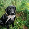 DIY Project: Cure a Gun-Shy Dog | Outdoor Life