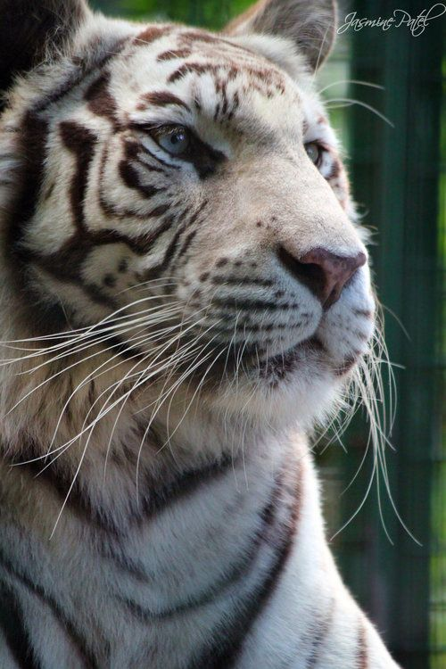 black tiger animal - photo #25