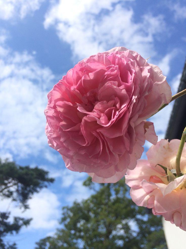 at Camelot Studios #flowers #rose #blueskies #dublin #ireland #irishsummer
