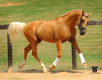 Legacy In Gold, 1999 palomino Thoroughbred stallion (Glitter Please x Honey Rider)