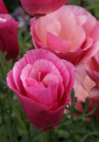Eschscholzia californica Rose Chiffon