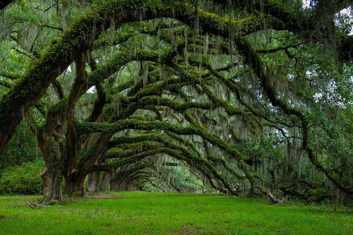 A Dixie, nel South Carolina, si trova questo viale costeggiato da querce, piantate 225 anni fa. In Dixie, in South Carolina, you will find this avenue lined by Oaks, planted 225 years ago.