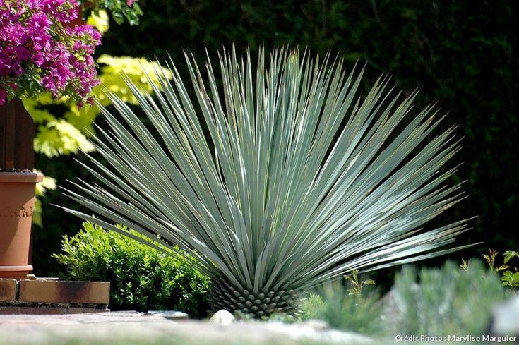 Yucca rostrata en pleine terre , il supporte des températures jusqu'à -15°C.