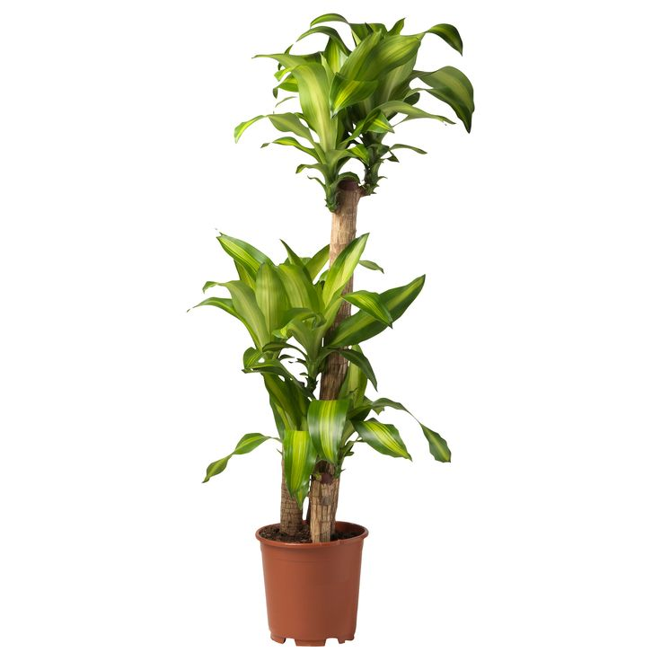 8 best Office Plants images on Pinterest Office plants Low