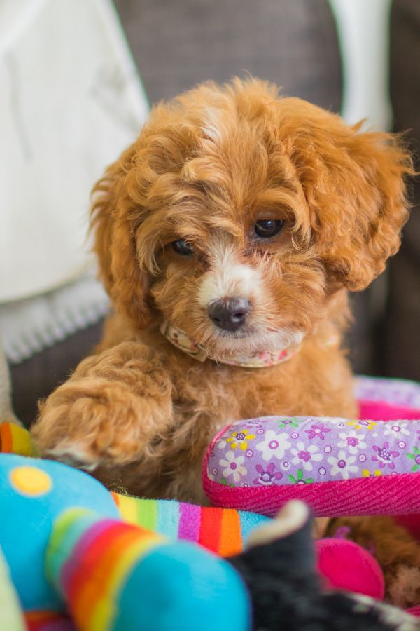 Looking For A Cavoodle Cavapoo Puppy That S For Sale Cavoodles Have Become Increasingly Popular Attracting R With Images Dogs And Kids Cute Dogs Breeds Cavapoo Puppies