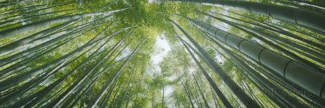 Low Angle View of Bamboo Trees, Hokokuji Temple, Kamakura, Kanagawa Prefecture, Kanto Region, Ho... Photographic Print by Panoramic Images at AllPosters.com