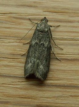 Mediterranean flour moths are commonly found in cereal, flour oatmeal and other dry goods.