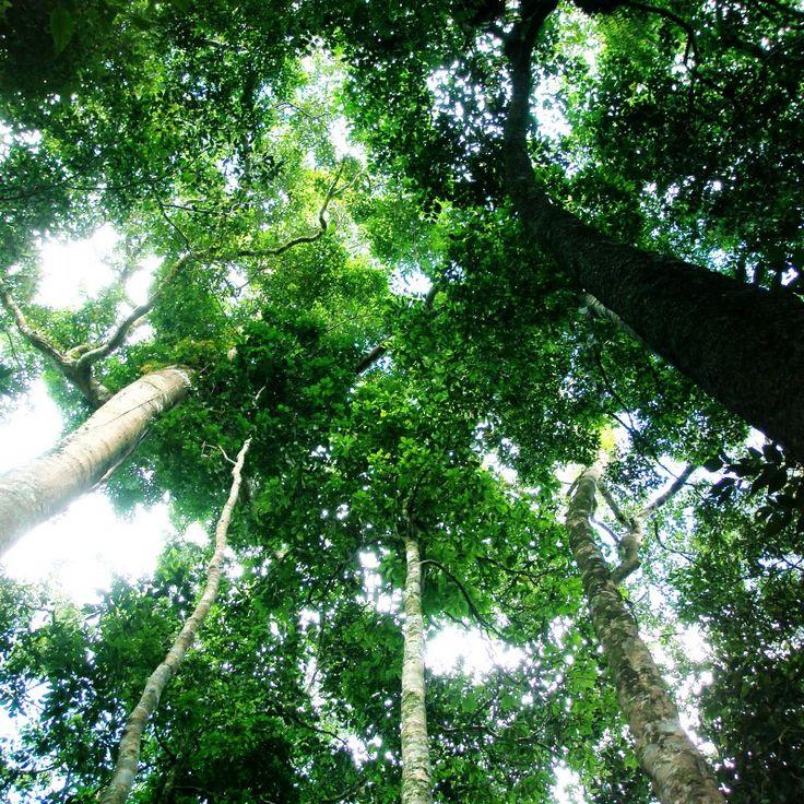 Hutan hujan adalah hutan yang mempunyai tingkat curah hujan yang tinggi. Hutan hujan juga memiliki pepohonan yang tinggi dan pepohonan panjat. Hutan hujan ini berada di daerah tropis dan mempunyai tingkat lembab hampir mencapai 80%. Hutan hujan dapat ditemukan di... #amazon #hutanhujan #hutantropis
