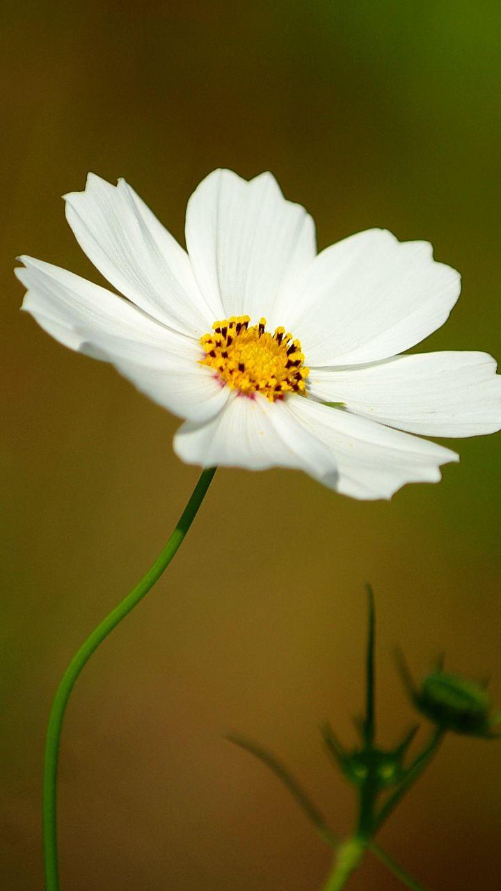 720x1280 White Cosmos Portrait Flower Wallpaper Flower Wallpaper Cosmos Flowers Most Beautiful Flowers