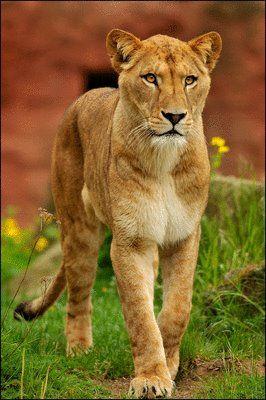 Female Lion - Isn't She Pretty !