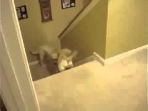 Dog Teaching Puppy How To Descend Stairs VS Cat Teaching Kitten - YouTube