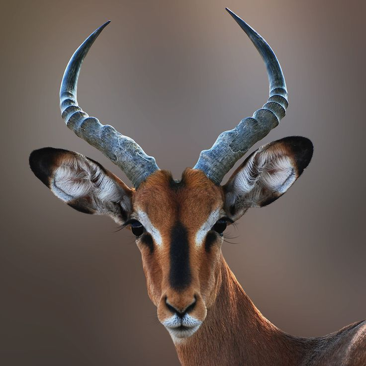 BLACK FACED IMPALA by Michael Sheridan