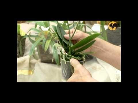 Сад и огород-106 Орхидеи: уход, полив, пересадка, освещение - YouTube