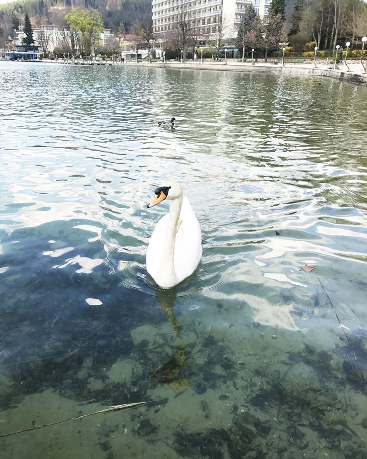 Swan at the Woerthersee