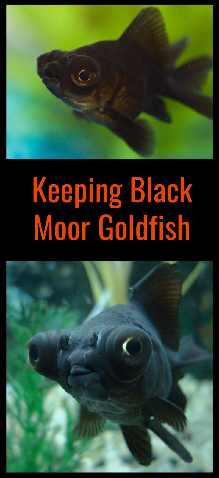 Black moors are fantastic little fish to keep, but there are some simple ground rules you need to understand first. Click here to read the complete beginners guide to keeping black telescope goldfish as pets.
