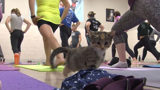 Every yoga class has a few downward dogs, but how about a cat stretch? We check out a class full of cuddly kittens.
