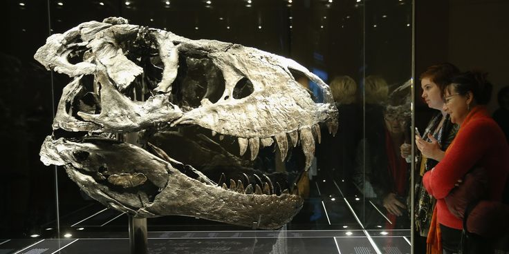 BERLIN, GERMANY - DECEMBER 17:  Visitors look at the original skull, which, due to its weight, had to be exhibited separately from the skeleton, of Tristan the Tyrannosaurus Rex on the first day Tristan was exhibited to the public at the Museum fuer Naturkunde (Natural History Museum) on December 17, 2015 in Berlin, Germany. The skeleton, unearthed in the U.S. state of Montana in 2012, is among the best-preserved large dinosaur skeletons ever found. Tristan is approximately 66 million years…