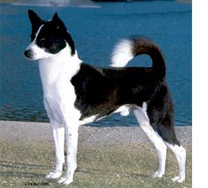 The ancestors of the modern Canaan Dog originated in the Biblical land of Canaan. Known as Kelev Kanani, meaning Canaan Dog, they were herding and flock guardian dogs for the ancient Israelites. When the Romans invaded and destroyed early Israel, the Canaan Dog was abandoned to a wild existence.