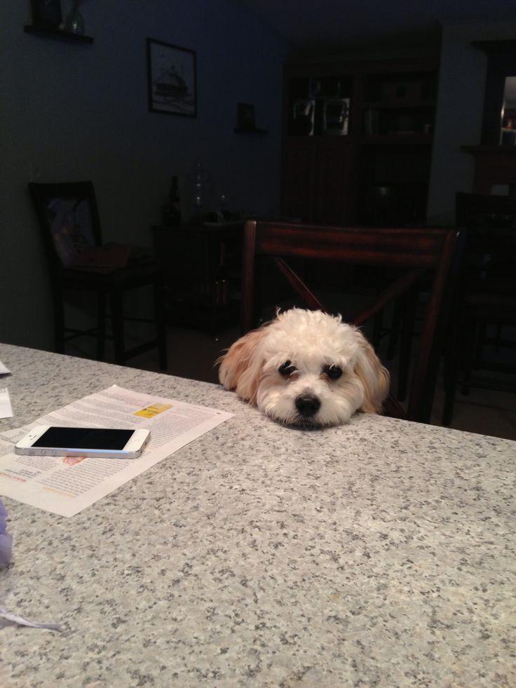 113 Best Teddy Bear Zuchon Puppies Amp Dogs Bichon Shih