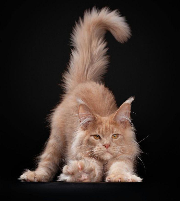 Ángel agraciado Lexus Tabby naranja Gato Maine Coon #mainecooncat #cat #cats   – Cats