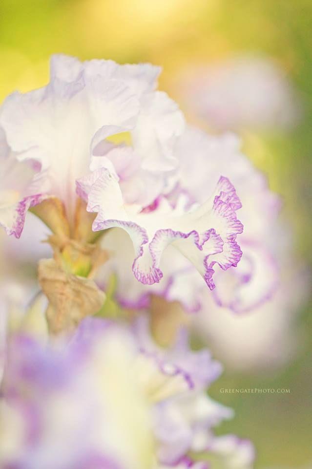 Ruffly iris